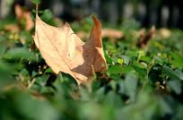 草地上一片枯黄的落叶