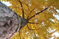 黄色伞状银杏树