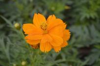 人工种植硫黄菊