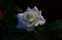 白玫瑰花卉图片