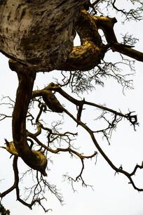 白色背景下的枯树