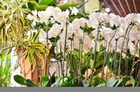 白色蝴蝶兰花草