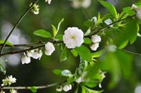 白色桃花花枝