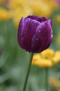 带水珠的紫色郁金香花朵