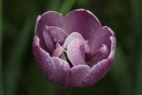 淡紫色的郁金香花朵