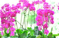 粉红色蝴蝶兰花草