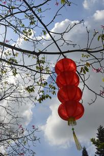 高高的美人树与红灯笼