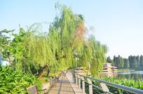 公园垂柳风景