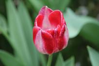 红白渐变的郁金香花朵花心