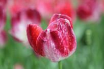 红白渐变的郁金香花卉花朵