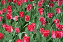红白渐变郁金香花丛