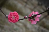红色桃花花朵特写