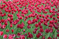 红色郁郁金香花卉花海