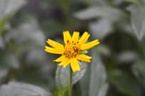黄花蟛蜞草