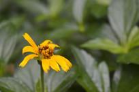 黄花曲草山蟛蜞菊