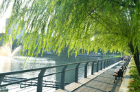 湖畔的垂杨柳风景