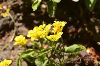 马缨丹花朵花卉