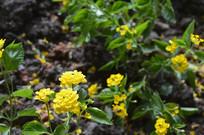 马缨丹花朵图片