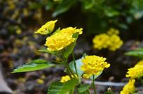马缨丹花卉图片