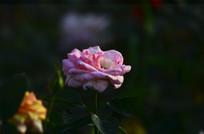 美丽的光影玫瑰
