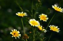 美丽的茼蒿花花朵