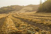 山坡上的玉米地