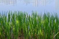湿地湖边的芦苇