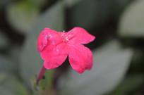 鲜桃红色大花芦莉