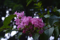 紫薇花红薇花