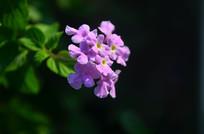 紫色小花花朵特写