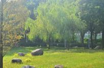 草地垂柳树木风景