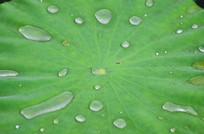 荷叶上的水珠叶子纹理