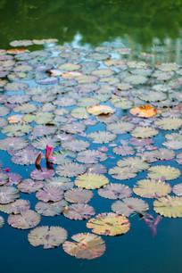 惠州西湖的荷花