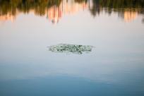 湖中的荷叶