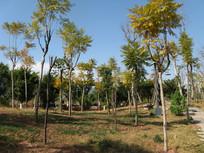 秋日草地上的凤凰树