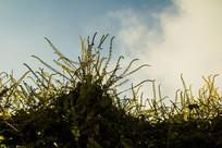 向上生长的藤蔓