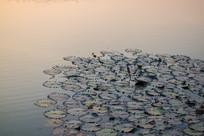 西湖里的荷叶