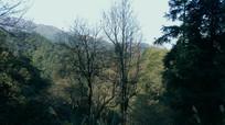 原始森林里落叶的枫树