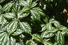 白斑叶冷水花图片