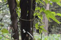 缠绕在树干上的三叶崖爬藤