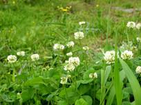 春天盛开的绿肥花