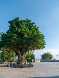 高榜山上的状元树