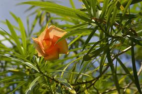 红酒杯花橙花夹竹桃