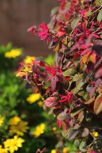 黄金菊前的红花檵木