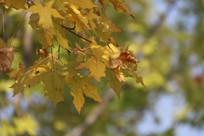 黄色的枫叶特写