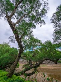 惠州西湖陈公堤古树