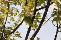 几串枫叶挂枝头