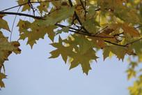 蓝天下的黄色枫叶