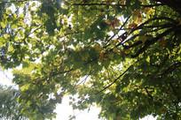 茂密的梧桐树叶