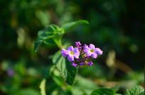 美丽的紫色小花